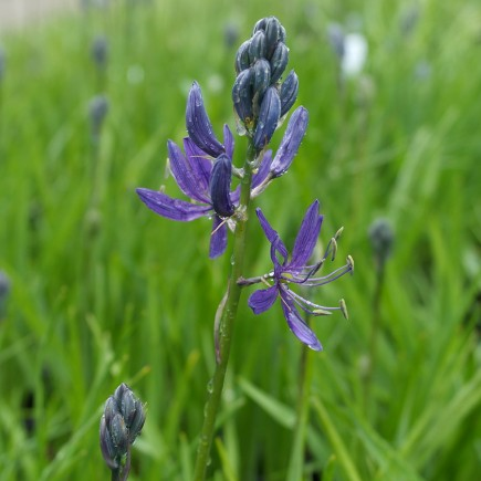 Camassia quamash 'Orion' Potted Bulbs