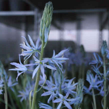 Camassia leichtlinii 'Blue Heaven' Potted Bulbs